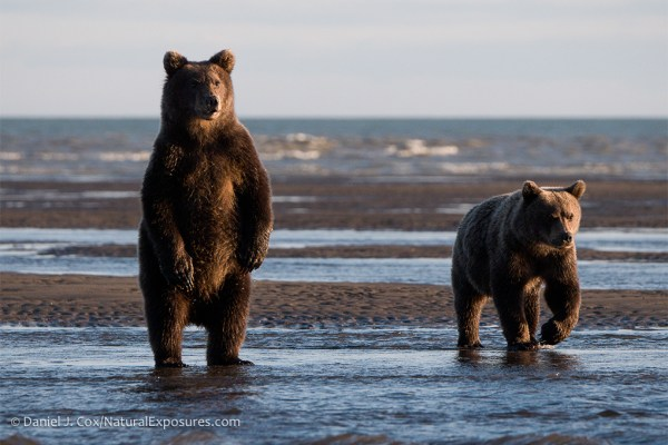 Please Bear With Me Soon Theyll Leave >> 2020 Alaska Brown Bear Photography Tour I Wildlife Photo Tours By