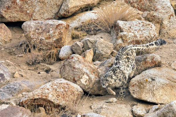 Photo for 2021 Snow Leopard Photography Tour