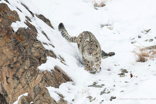 Photo for 2022 Snow Leopard Photography Tour