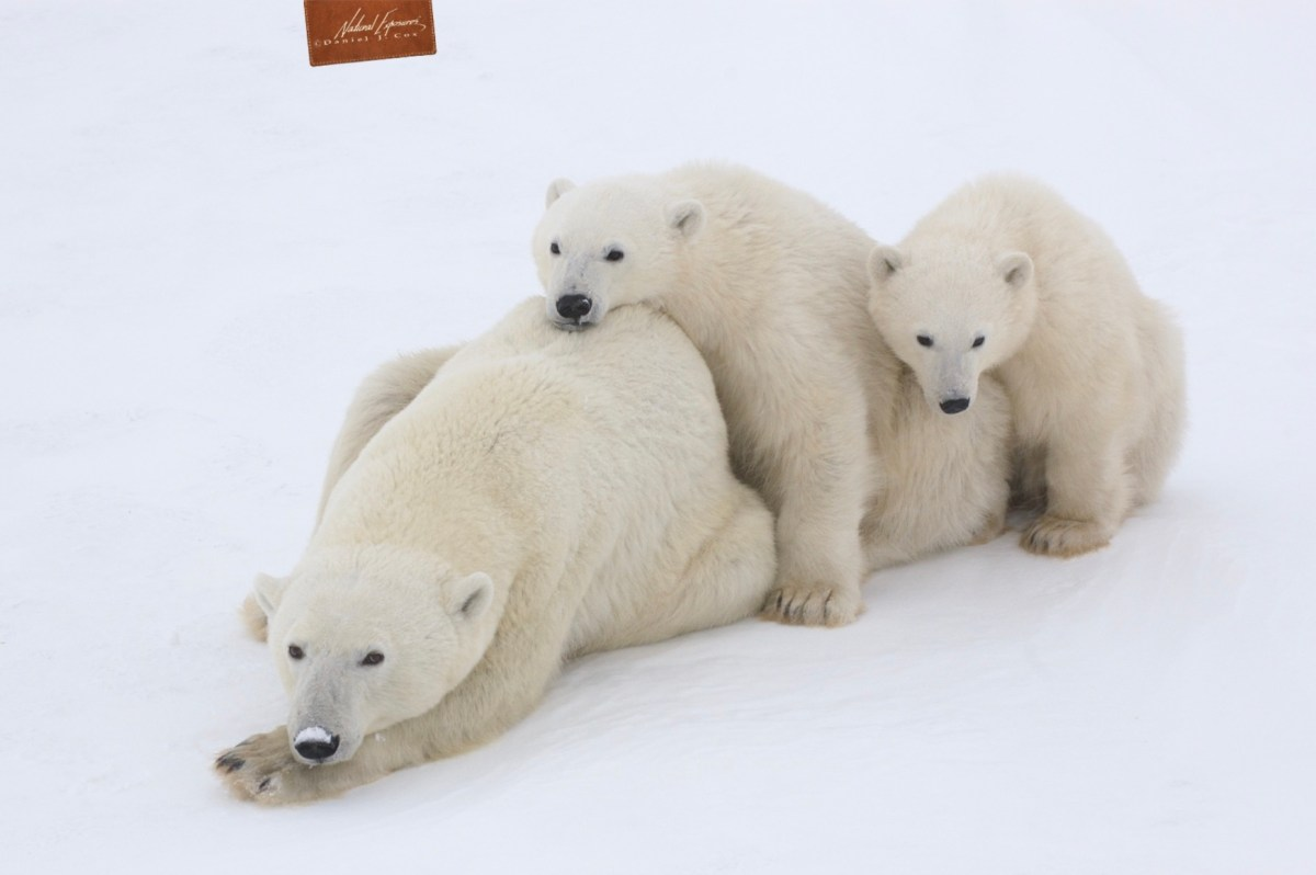 How to photograph polar bears from a thunder buggy. white furry animals