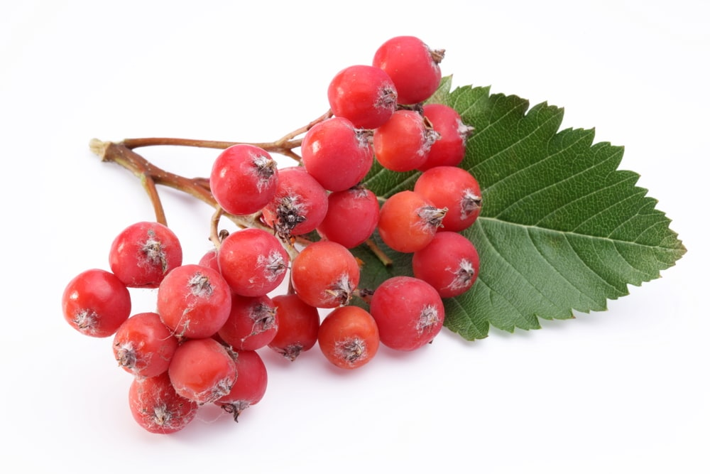 11 Impressive Benefits of Rowan Berries