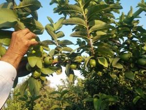 Guava Tree