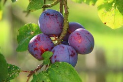 high fiber foods for kids: Image of plums on a plum tree