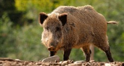 Wild boar looking fierce with blurred trees in the background
