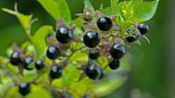Poisonberry plant health benefits