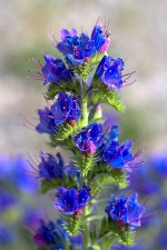bugloss flowers and leaves