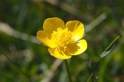 greater celandine flower
