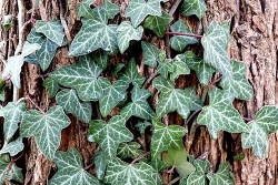 Ivy plant health benefits