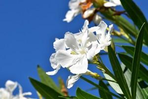 Oleander Plant Health Benefits 6