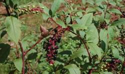 pokeweed plant health benefits