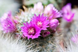 prickly pear nutritional benefits