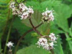 Sanicle plant extract health benefits