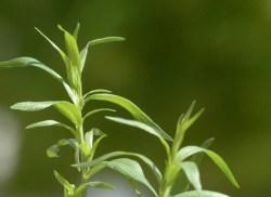 tarragon leaves uses