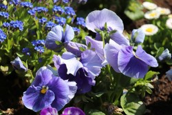 wild pansy herb