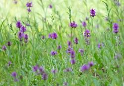 Betony plant benefits
