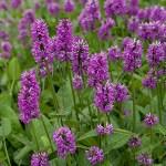 wood betony herb uses