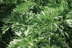 wormwood benefits for hair