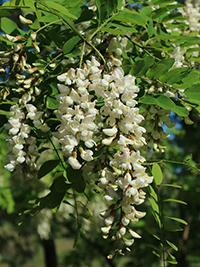 acacia honey benefits for skin