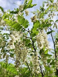 acacia honey origin