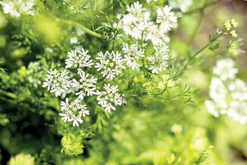anise plant benefits
