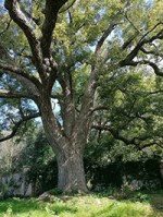 camphor tree growth rate