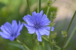 chicory flower benefits for skin