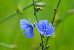 chicory medicinal uses
