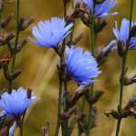 Chicory Plant Health Benefits 13