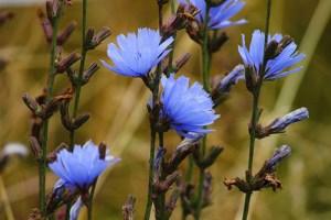 Chicory Plant Health Benefits 5