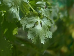 coriander plant health benefits
