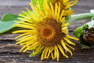 elecampane plant flower uses