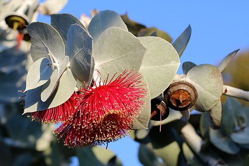 eucalyptus plant benefits
