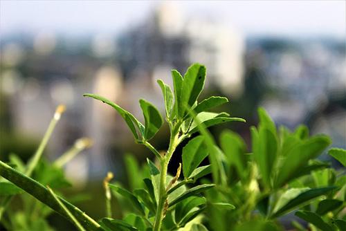 fenugreek plant benefits