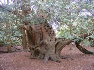 how is taxol extracted from yew tree