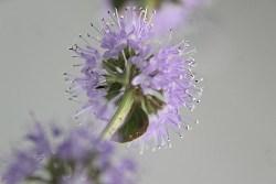 mosquito plant health benefits