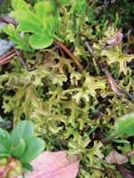 icelandic moss magical properties