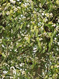 mistletoe plant is a partial parasite