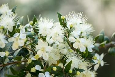 myrtle plant health benefits