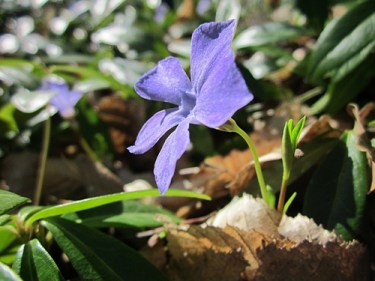 periwinkle flower benefits for skin