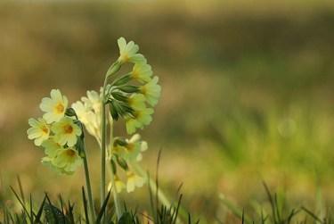 primrose plant benefits skin care