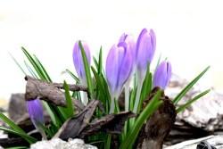 saffron plant benefits for health
