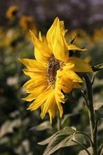 sunflower medicinal uses