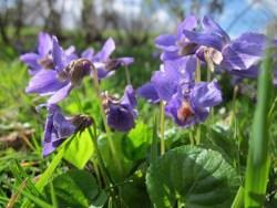 viola odorata homeopathy uses
