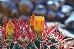 what are the benefits of cactus plant