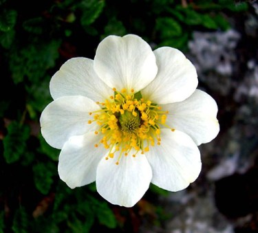white dryas flowers are good for making swiss tea