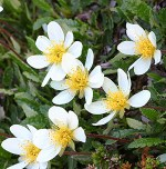White dryas plant for medicinal use