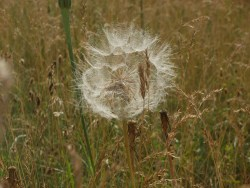 yellow salsify seeds