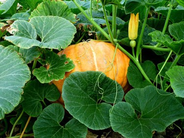 Pumpkin plant medicinal uses