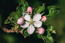 apple blossom medicinal uses