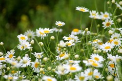bellis perennis homeopathy personality